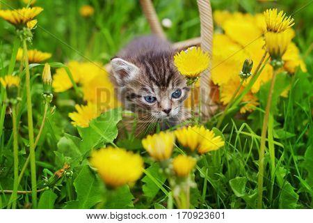 Сute little kitten sitting in a basket on the flower meadow.