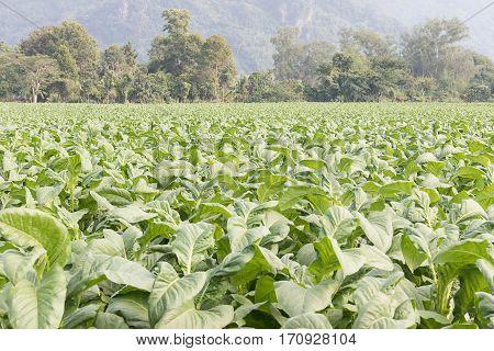 Field Of Nicotiana Tabacum