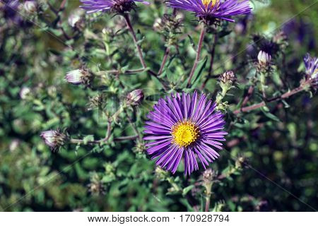 A New England aster (Symphyotrichum novae-angliae), also called the Michaelmas daisy, blooms in Joliet, Illinois during September.