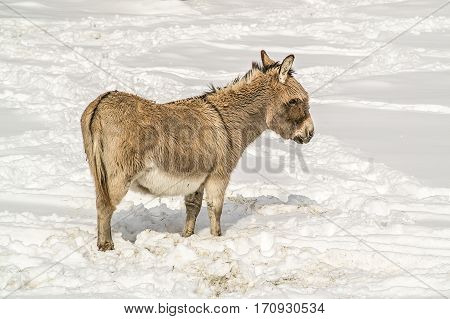 Donkey with bangs enjoying a day in the snow