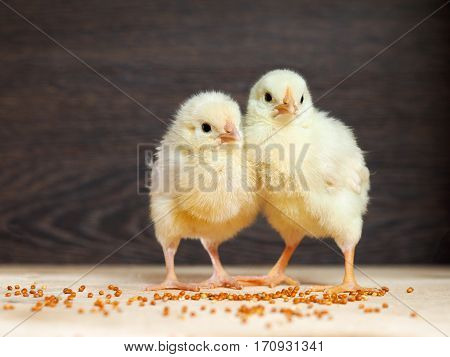 Two baby Chicks. Chicken with white and yellow feathers a pink beak