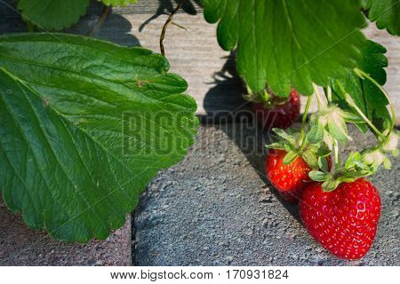 Delicious strawberries growing organically in the garden hanging over a paver walkway ripening in the early morning sun.
