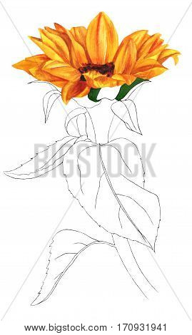 A pen and ink and watercolour drawing of a sunflower, isolated on white background