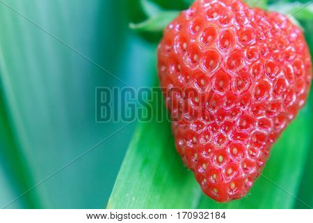 A juicy red strawberry growing organically amidst irises leaves ready to eat.