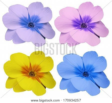 violets flowers set yellow blue pink violet. white isolated background with clipping path. Closeup. no shadows. For design. Nature.