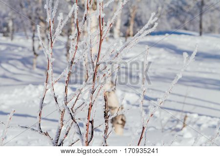 Birch branches covered with white cristal snow and ice.