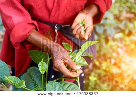 The hand of a woman who collects tea leaves