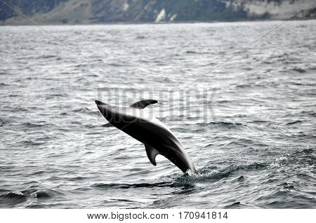 Jumping Dolphin in the water in Kaikoura, New Zealand
