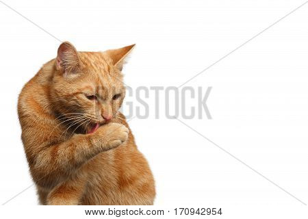 Portrait of Washes Ginger Cat Licking paw on Isolated white background, front view