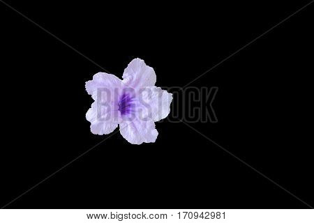 Popping pod flower purple isolated on black background and clipping path (Scientific name Watrakanu Minnie root Feverroot Cracker plant Trai-no Toi ting)