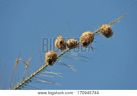 Nests of Belier tisserin in a Palm of Reunion Island with blue sky