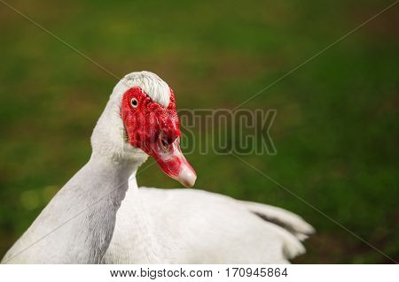 Musky duck or indoda on walk. White Muscovy bird with red wattles around beak. Indoda close up portrait. Barbary duck with red nasal corals on green lawn