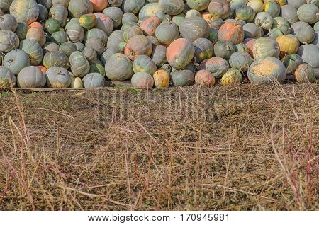 Grey pumpkins named Confection. Pile of gray pumpkin on the field.