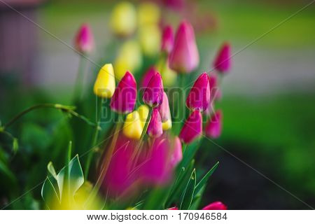 Colorful tulips on lawn. Pink and yellow water-lily tulips background. Not yet blooming, growing by single row flowers. Set of garden bulbous spring-flowering plants. Forerunners of spring.
