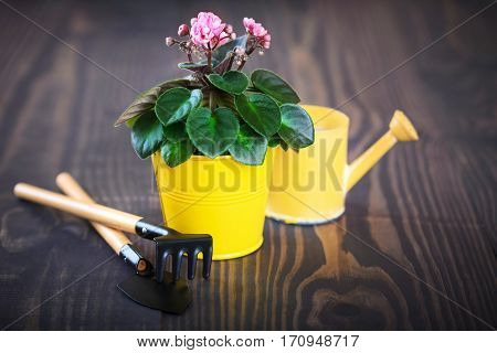 Violet in a flowerpot with shovel and rake on a wooden background