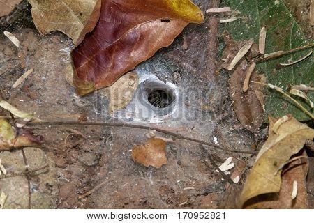 spider inside the nest outdoor  Arachnids funnel