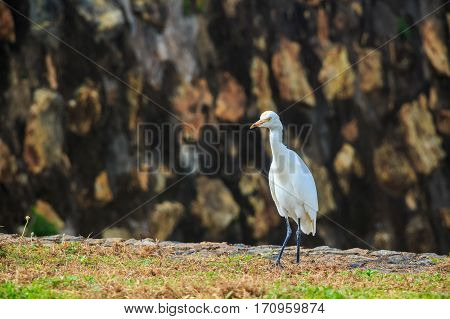 Eastern great egret or Ardea alba modesta in Sri Lanka