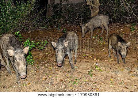 Indian boar or Sus scrofa cristatus in national park Yala, Sri Lanka