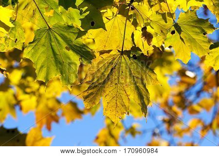 yellowing leaves on maple trees in the fall season. Blue sky in the background. Photo taken closeup.