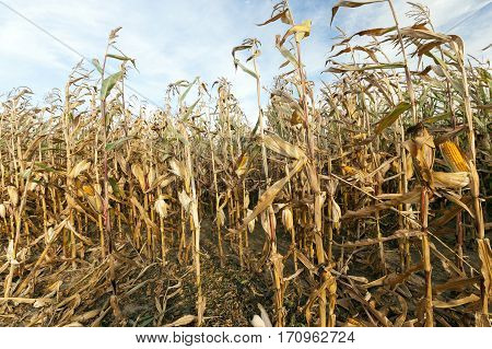 agricultural field on which grows ready for collection yellowed corn, against the blue sky