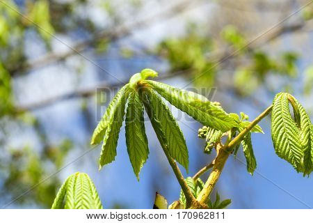 photographed close-up of young green leaves of chestnut, a small depth of field