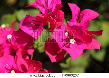 Beautiful pink bougainvillea flowers in the daytime.