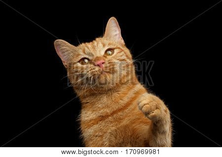 Portrait of Ginger cat satisfied face with paw on Isolated Black background, front view