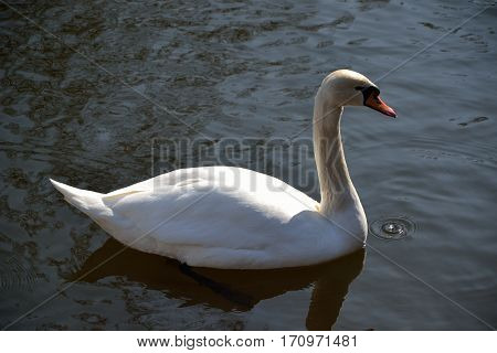 White swan on the river, lake, water