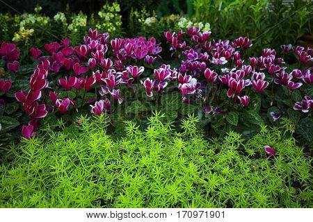 vivid nature floral background line of pink cyclomen flowers above line of greenery sedum succulent flowers close up