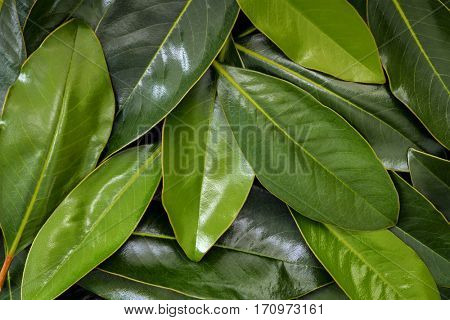 Magnolia leaves, top view.  Full-frame background. Large file.