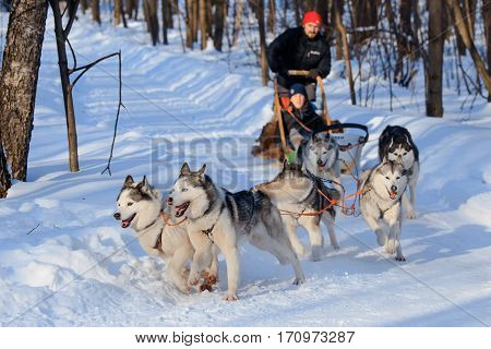 MOSCOW, RUSSIA - FEBRUARY 02, 2017: Husky dogs are pulling sledge  at sunny winter forest.