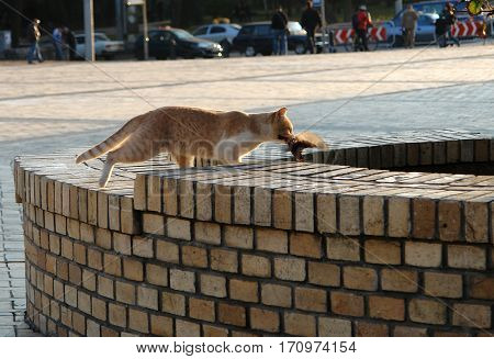 Red cat hunted a bird on the city street