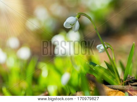 Beautifull Snowdrops Galanthus Plicatus In Spring Forest