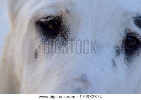 white muzzle Central Asian Shepherd Brown eyes