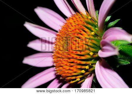 Echinacea macro close up on a black background