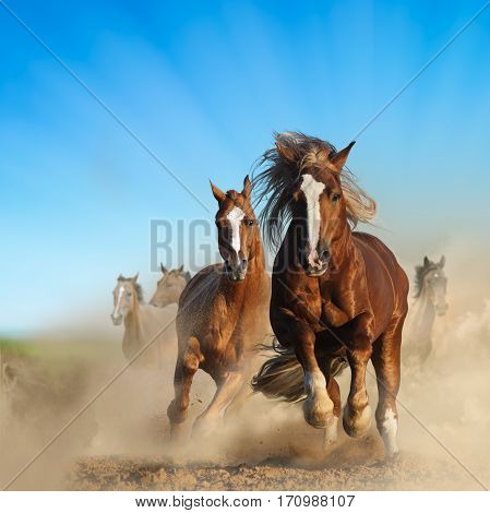 Two wild chestnut horses running together in dust front view