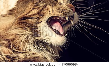 Angry cat muzzle. Aggressive Maine coon cat hisses.