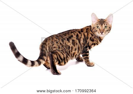 Bengal kitten 5 months old in front of white background. isolate