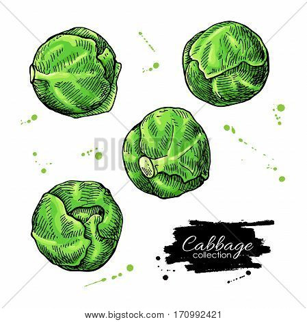 Brussel sprout hand drawn vector illustrations. Vegetable artistic style objects. Isolated brussel cabbage set. Detailed vegetarian food drawing. Farm market product.