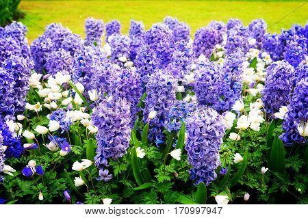 blue hyacinth flowerbed in dutch park Keukenhof, Netherlands, toned