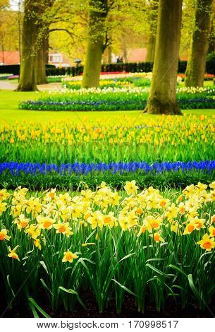 Colourful daffodils, bluebells and tulips flowerbeds in an Spring Formal Garden, toned