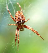 Hunting spider poster