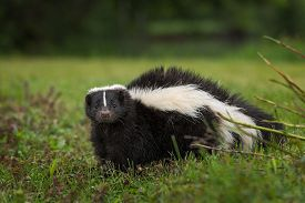 Striped Skunk (Mephitis mephitis) Looks Out from Ground - captive animal