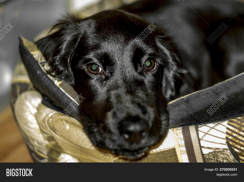 Cute Black Cocker Image Photo Free Trial Bigstock