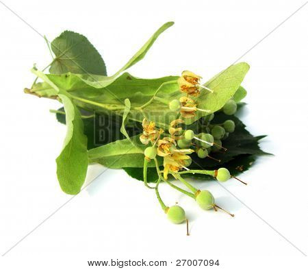 Tilia lime linden basswood leaves, fruits and flowers
