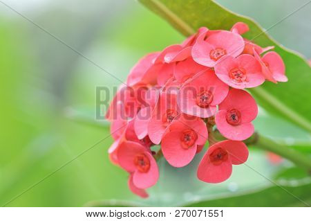 Christ Thorn Flower / Euphorbia Milli Or Crown Of Thorns Red Flower On Natural Green Background - Pi