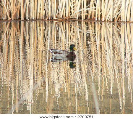 Peaceful Duck