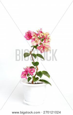 Bougainvillea Chameleon pink in a flower pot on a white background poster