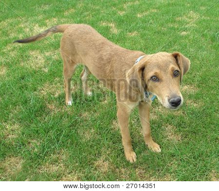 Pariah dog on green grass