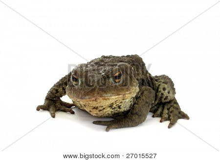 Frog scabby scalded toad